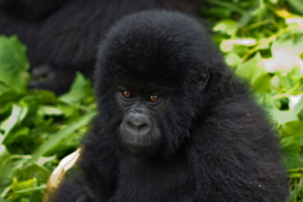 Baby Mountain Gorilla in Virunga National Park, the Democratic Republic of the Congo. Original photo by Cai Tjeenk Willink - cropped. Photo available under CC BY-SA 3.0