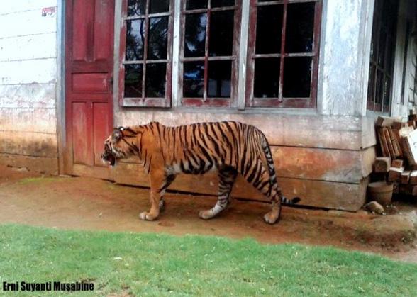 Sumatran tiger in an Indonesian village.