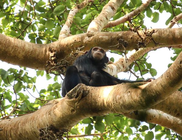En Uganda y Tanzania, El Instituto de Jane Goodall ha empezado a implementar proyectos de REDD+ en los que se ha ayudado a proteger formalmente la posesión de las tierras de los lugareños. IJG está usando REDD+ para repoblar y proteger la selva de los chimpancés en peligro de extinción y trabajan con los lugareños al mismo tiempo. Copyright(c) de la fotografía, 2014 Wendee Nicole.