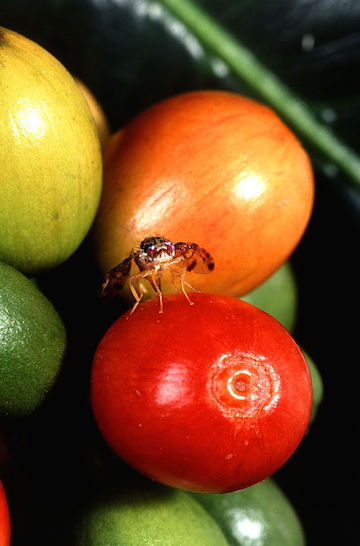 Many species of fruitfly, such as this medfly (Ceratitis capitata), lay eggs in the fruits of plants.