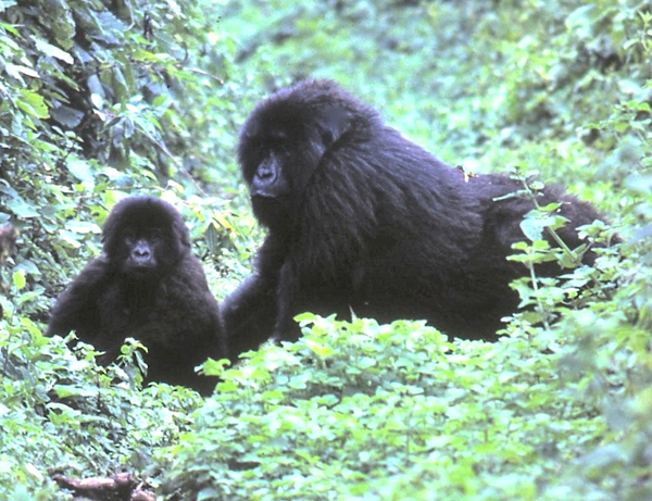 These mountain gorillas, near Djomba on the southern border of Block V, would be severely affected by oil drilling in Virunga. Photo courtesy of Daniel Stile