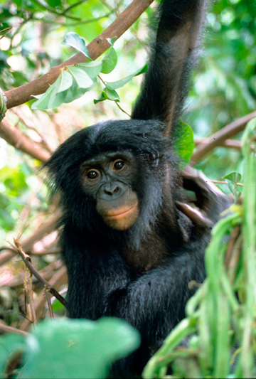 A bonobo such as this one could have transported Ebola Zaïre unintentionally from the DRC to Guinea, setting off the epidemic. Photo: Karl Ammann