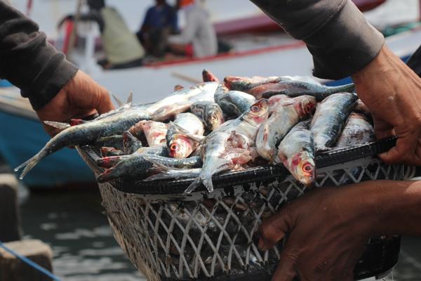 Pesci catturati con l'utilizzo della dinamite vengono scaricati presso un porto a Makassar. La saggezza popolare dice che i segni rivelatori dei pesci recuperati con la dinamite sono le interiora lacerate e il rosso attorno agli occhi. I pescatori che si servono delle bombe possono tirare in secco pesce in quantità esponenzialmente maggiori e in molto meno tempo rispetto ai pescatori che lavorano con le reti tradizionali o con l'amo e la lenza. Foto di Melati Kaye (2014).