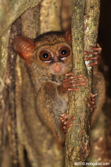 A tarsier of genus Tarsius on Sulawesi. The Belitung Island tarsier is a subspecies of the Western tarsier, which was previously grouped in the genus Tarsius, but was assigned its own genus in 2010 (Cephalopachus). Photo by Rhett A. Butler.