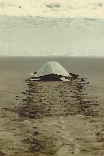 An olive ridley sea turtle (Lepidochelys olivacea) returns to the sea after laying its eggs on a beach near Ostional, Costa Rica.