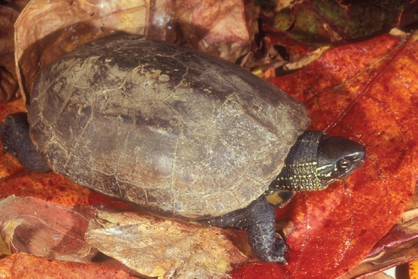 China's boom may mean doom for turtles