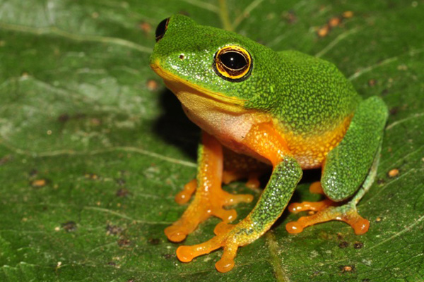 Selective logging hurts rainforest frogs