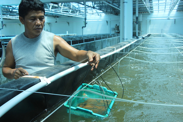Un técnico controla la salud de los camarones en el Centro nacional de poblaciones reproductoras de camarones y moluscos de Indonesia. Foto por Melati Kaye.