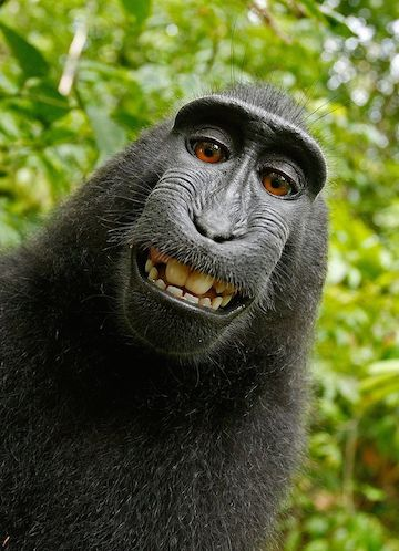 A critically endangered black crested macaque (Macaca nigra) took a photo of itself using equipment owned and set up by David Slater.