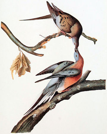 Passenger pigeons were somewhat sexually dimorphic, with the males more colorful than the females.