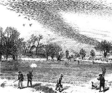 Pigeons were shot by the millions. While hunting alone was not responsible for their extinction, it played a big role in their decline.