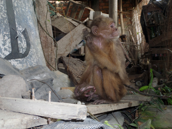 Old skinny capuchin monkey tied to a mountain of rubbish, the wound on the end of his tail is a result of stereotypical behavior of hair pulling because of stress. Was rescued and now lives with a female capuchin he fell in love with. Photo credit by Noga Shanee/NPC