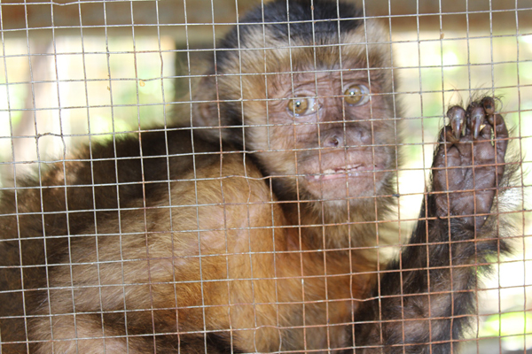Capuchin monkey in cage. Photo credit by Noga Shanee/NPC