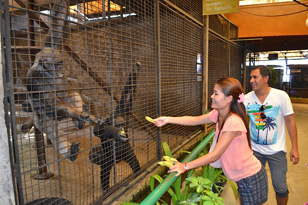 Great apes also draw visitors to private zoos, who pay to feed them. Photo by Daniel Stiles.