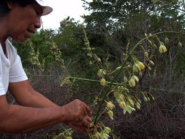 Toshao - village chief - explains the traditional usage of a plant. Photo credit: Takuya Iwamura.