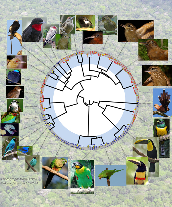 Phylogenetic tree (in circular form) of the 27 bird lineages studied, with species represented by the tips (orange or bluish). Bird images either under a creative commons license or courtesy of Andres Cuervo.