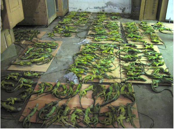 Approximately 200 deceased iguanas. Photo permission by PETA.