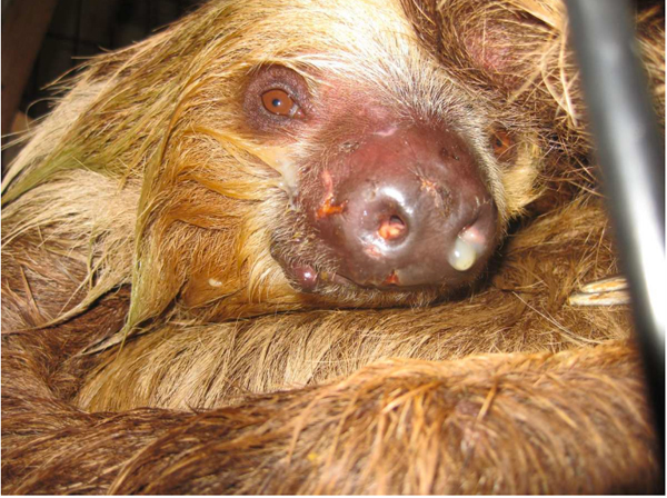 A diseased sloth. Photo permission by PETA.
