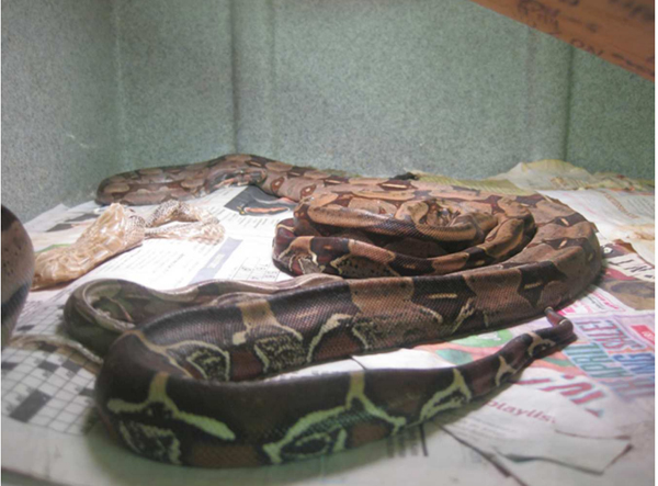 Emaciated red-tail boas in condition not suitable for their survival. Photo permission by PETA.