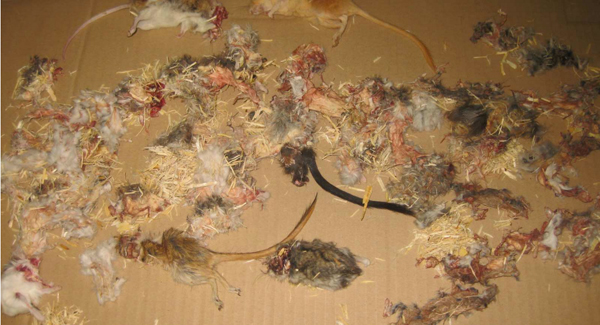 A sample selection of dead (including partly cannibalized) small mammals. Photo permission by PETA.