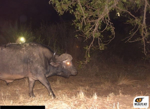 Camera traps capture 'fantastically bizarre' animal behavior in South African park