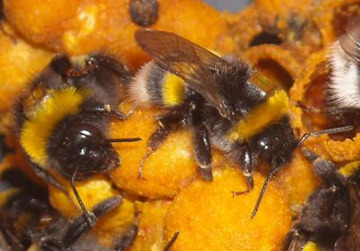 This image shows bumblebee (Bombus terrestris) workers with Radio Frequency Identification (RFID) tags.