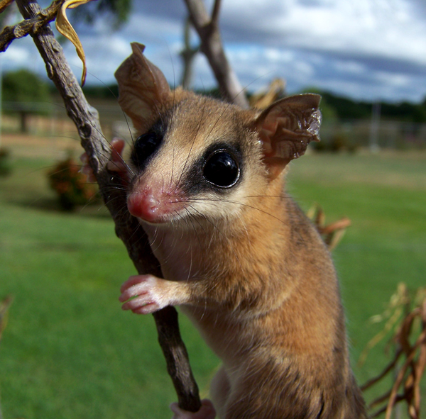 A Robinson's mouse opossum (Marmosa robinsoni) in the plains of Cojedes state, Venezuela. Photographer: Marcial Quiroga-Carmona