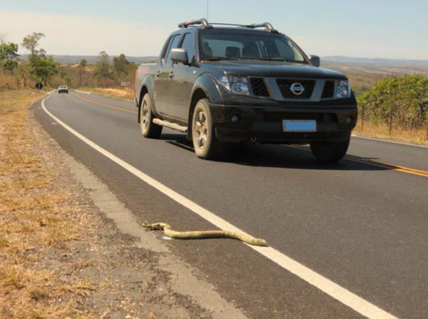 A fake snake placed along Brazil's MG-010 road as a truck passes. Photo courtesy of Secco et al, 2014.