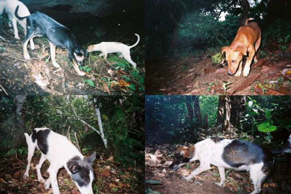 Collage of domestic dogs caught on camera trap in Brazil's agroforests. Photo by: Frigeri et al.