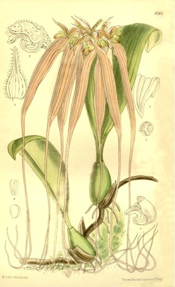 A 1911 illustration of the fragrant Bulbophyllum longissimum, from Curtis' Botanical Magazine.