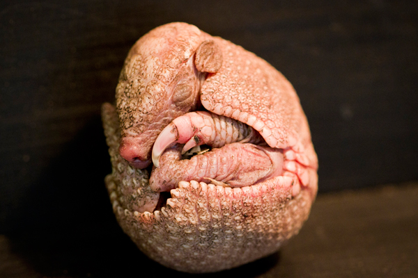 An armadillo the size of a golf ball