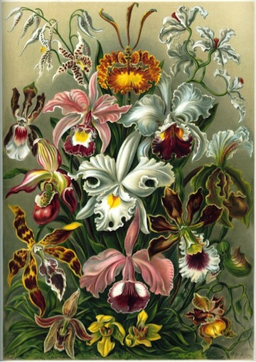 Orchids have fascinated humans for centuries with their exquisite forms and profuse variety of color and smell. Ernst Haeckel's 1899 lithograph from his publication Kunstformen der Natur showing 16 different orchids.