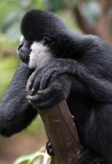 Adult male northern white-cheeked gibbon (Nomascus leucogenys). Photo by Terry Whittaker.