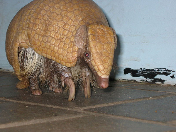 Brazilian Three-banded Armadillo. Photo by: Chris Stubbs.
