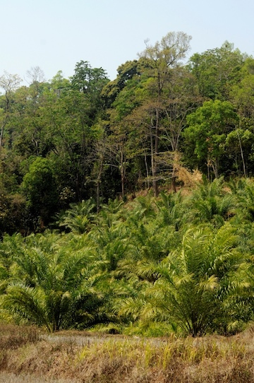 Oil palm plantation in Mizoram, India. Photo courtesy of TR Shankar Raman.