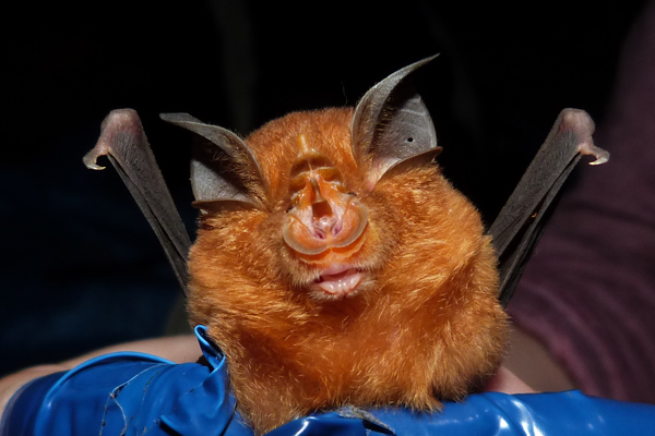 Blyth's horseshoe bat (Rhinolophus lepidus). Photo courtesy of Claire Wordley