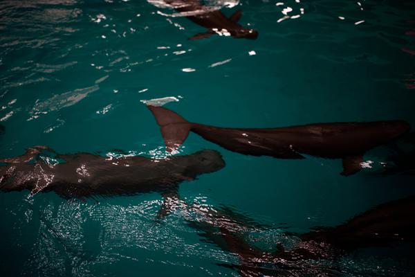 Marsopas sin aleta juegan en el Centro de Investigación de Delfines de Agua Dulce en Wuhan, China. Los científicos dicen que cuanto más sepamos sobre su reproducción y su comportamiento, mejor podremos conservarlas antes de que desaparezcan. Foto: Dominic Bracco II