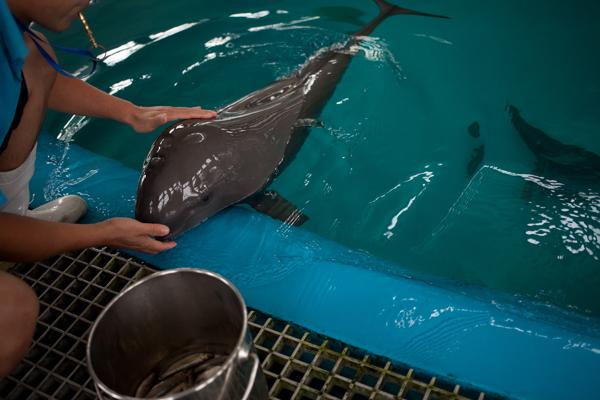 Los entrenadores del Centro de Investigación de Delfines de Agua Dulce en Wuhan, China, entrenan a las marsopas sin aleta durante la hora de la comida. Los animales no actúan, pero el entrenamiento les ayuda a hacer ejercicio y establecer vínculos con sus colegas humanos.