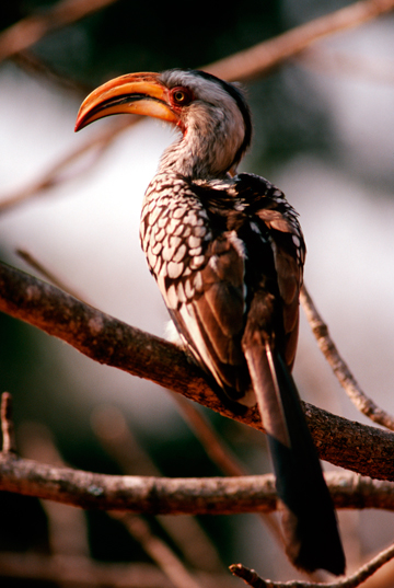 Portrait of a Southern Yellowbilled Hornbill (Tockus leucomelas), an important tree seed disperser, resting on a branch. (Credit: Juan Pablo Moreiras / Fauna & Flora International)