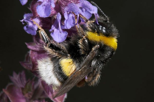 Bombus terrestris Photo © Biopix: JC Schou under a Attribution-NonCommercial 3.0 Unported (CC BY-NC 3.0) license.