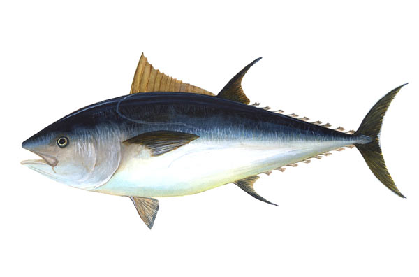 An image of an Atlantic bluefin tuna. Image in the public domain.