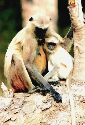 Black-footed gray langurs (Semnopithecus hypoleucos) in Tadoba Andhari Tiger Reserve. The species is listed as Vulnerable by the IUCN. While established to ensure the future of India's tigers, these reserves have the collateral benefit of protecting other many other species. Photo by Morgan Ericskon-Davis.