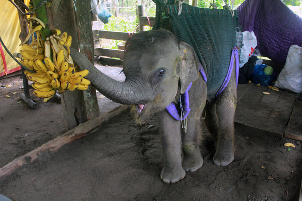 Agam Indonesia  City pictures : Agam, the adorable baby elephant that captured hearts in Indonesia, is ...