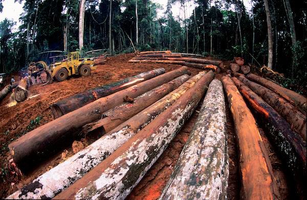 East Asian logging companies operate outside of the initiatives aimed at biodiversity conservation that fall under the umbrella of the Congo Basin Forest Partnership. Photo by Karl Ammann.