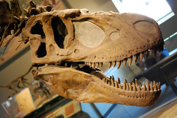 The skull of a Daspletosaurus at the Field Museum of Natural History in Chicago, where Graslie is Chief Curiosity Corespondent.  Photo credit: Scott Anselmo under a CC BY-SA 3.0 license.