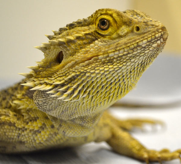 Don't let their expressionless faces fool you; bearded dragons may be capable of learning through imitation. Photo credit: Samantha Penrice