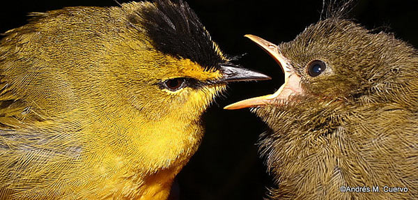 A Black-crested Warbler and her chick (Myiothypis nigrocristata). Photo credit: Andres Cuervo.