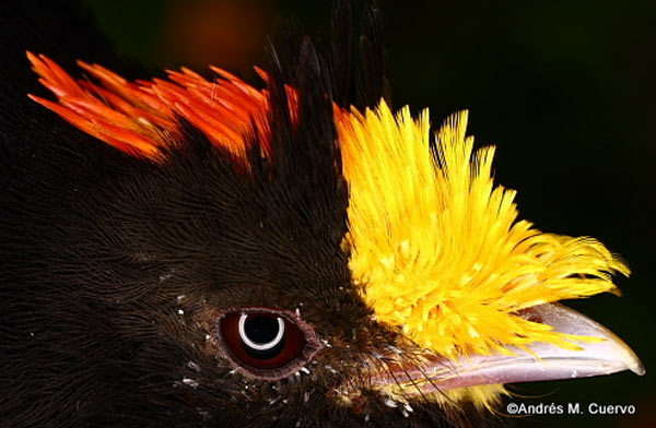 The head of the Golden-winged Manakin (Masius chrysopterus). Photo credit: Andres Cuervo.