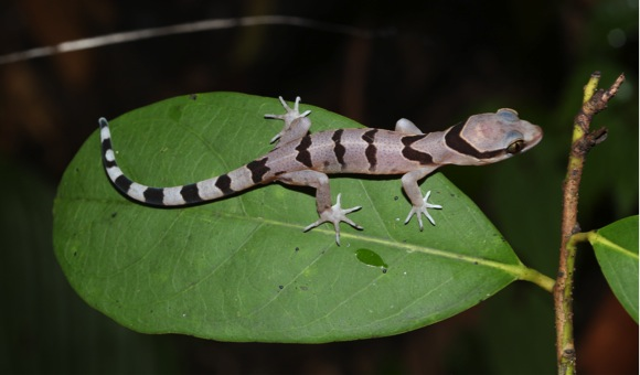 Striking new gecko discovered in Thailand