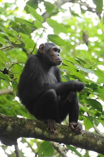 Approximately 1,400 chimpanzees inhabit the reserve, and are at risk of habitat loss due to forest clearing. Photo by Photo by Andrew Plumptre/WCS.